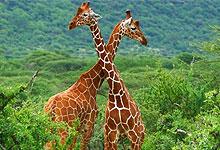 2 Days 1 Night Samburu Game Reserve Road Safari from Nairobi