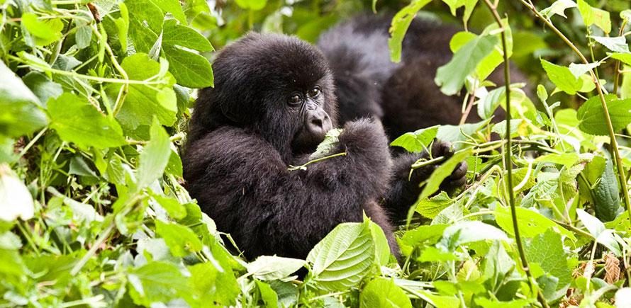 2 Days 1 Night Uganda Safaris Mountain Gorilla Tracking, Chimpanzee Trekking, Wildlife Safaris