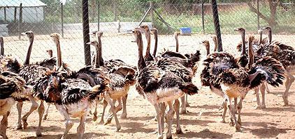 1 day Nairobi Day Tour Maasai Ostrich Resort