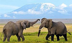 6 Days 5 Nights Kenya Fly-in Safari to Amboseli National Park & Masai Mara Game Reserve from Nairobi