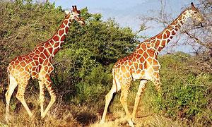 6 Days 5 Nights Kenya Fly-in Safari to Meru National Park & Masai Mara Game Reserve Holiday from Nairobi