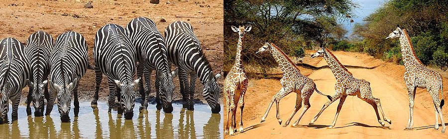 2 Days 1 Night Tsavo West National Park Flying Safari